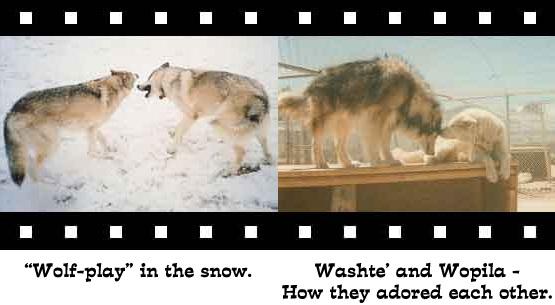 wolf-photo5