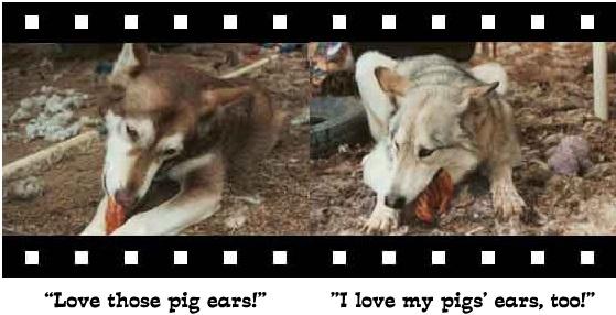 wolf-photo6