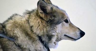 Hokshila, Wanagi's Wolf Ambassador